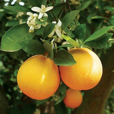 Citrusplant