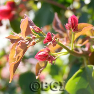 PINCHING, STEP 1:  Identify new shoots.  New bougainvillea shoots are green, pliable, and contain immature leaves and buds at the very tip.