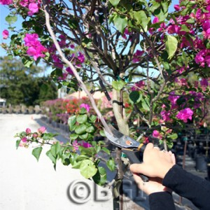 PRUNING, STEP 1:  With clean, sharp pruning shears, remove unwanted branch.