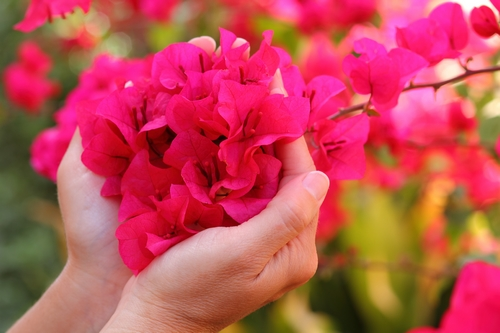 Bougainvillea Care Tips