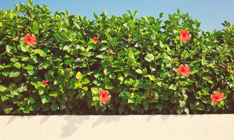 Essential Hibiscus Fertility Facts