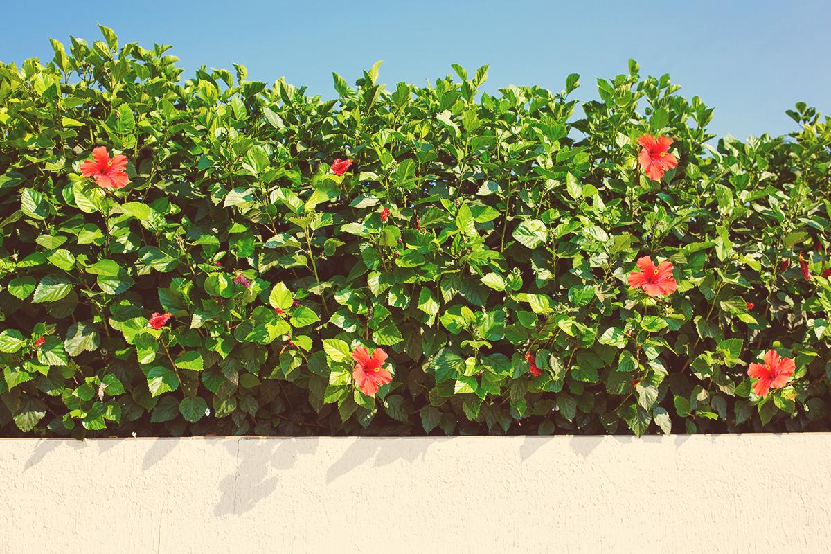 Essential Hibiscus Fertility Facts Bgi Premium Plant Foods