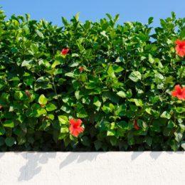Hibiscus Plant Food