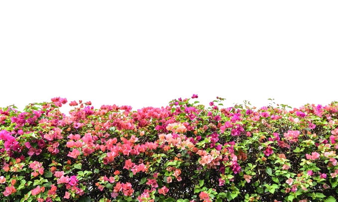 Bougainvillea Preferred for Allergy Sufferers