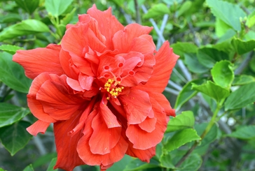 Hibiscus 101 Care Maintenance Tips Tricks