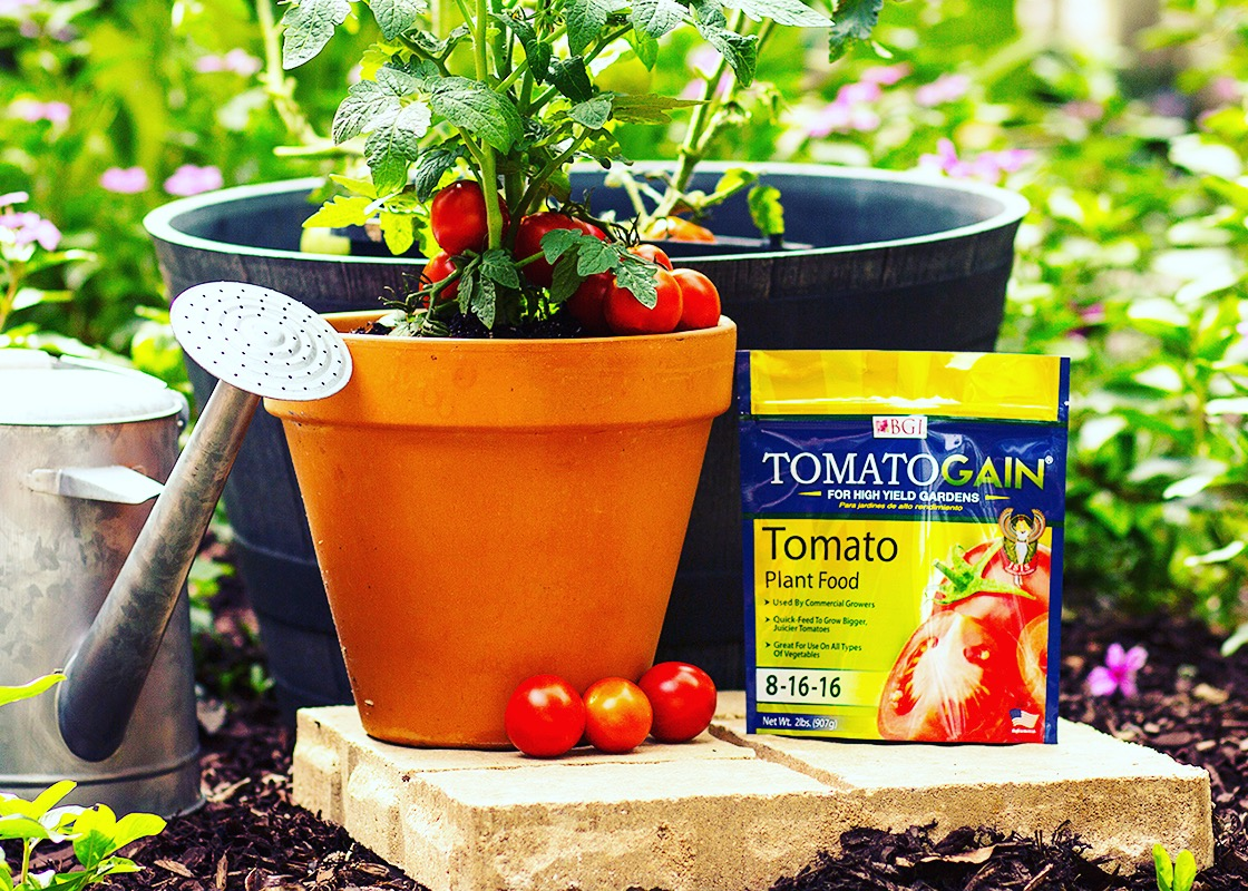Tomatoes Are One Of The Most Popular Vegetables Among Home Gardeners. They  Can Be Grown Successfully In Florida Through A Number Of Growing Methodsu2014in  A ...